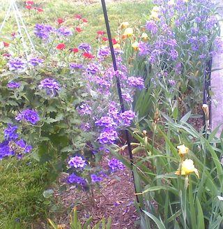 Irises garden